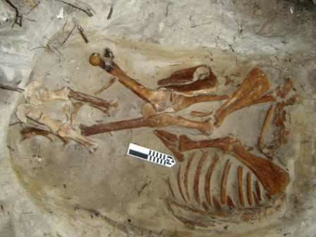 Complete Skeleton of a Donkey